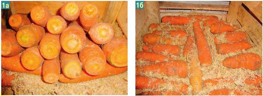 способ хранения моркови