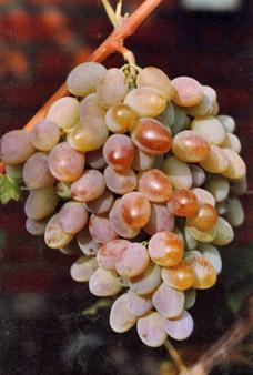 виноград нистру