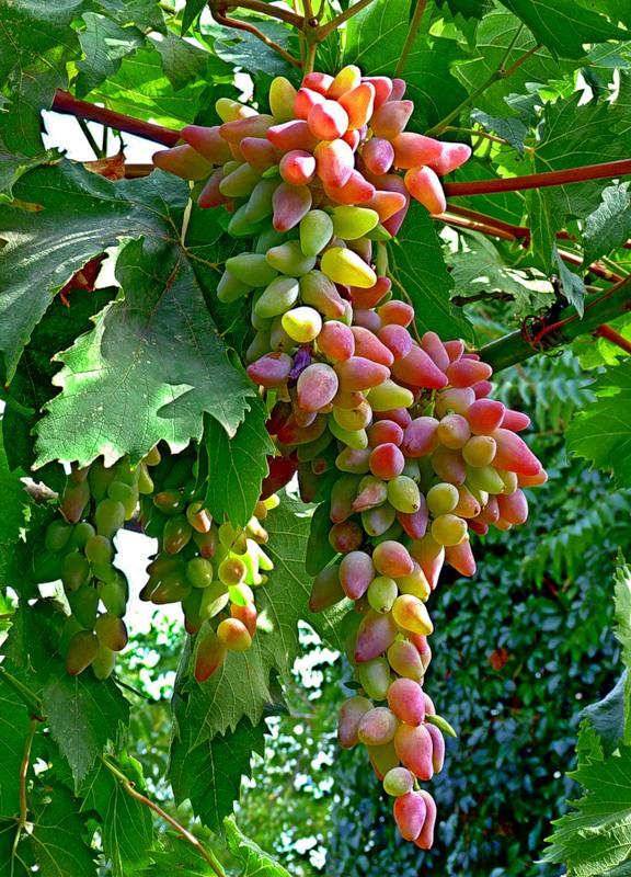 сорт винограда Оригинал средне-позднего созревания. крупная гроздь