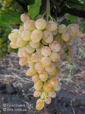 Сорт винограда Русбол