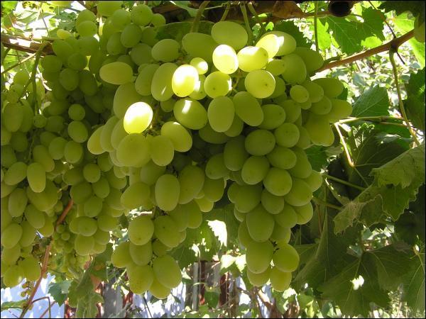 Отличный сорт винограда Талисман